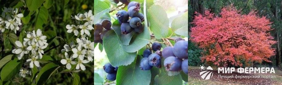Ирга канадская: описание кустарника, полезные свойства ягод, правила посадки и ухода, отзывы садоводов + лучшие сорта