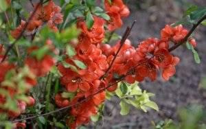 Как вырастить японскую айву из семян дома. выращивания айвы японской из семян | дачная жизнь
