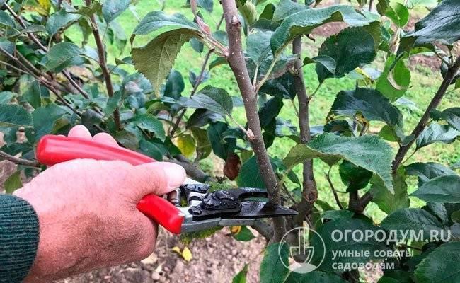 Размножение яблони, способы и методы проведения