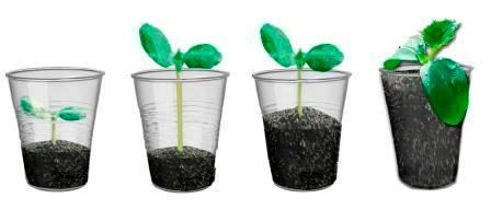 Как быстро прорастить семена огурцов перед посадкой в домашних условиях