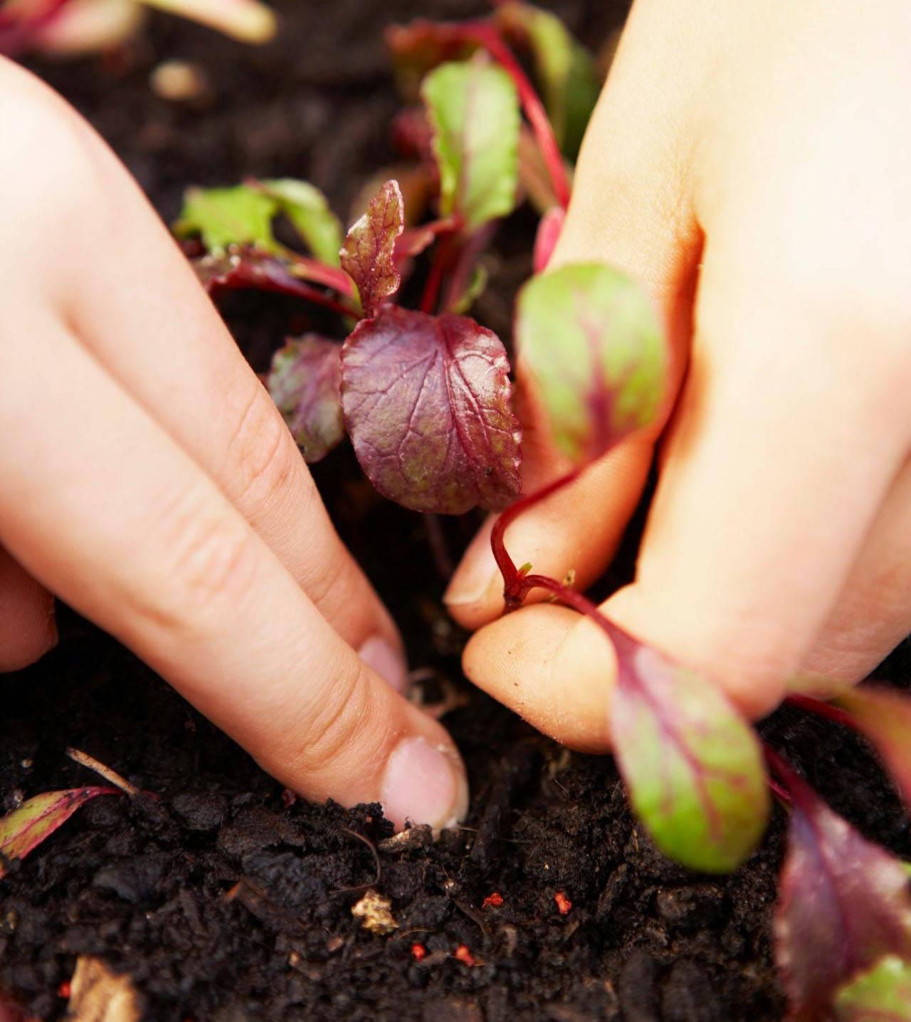 Свёкла: выращивание и уход в открытом грунте, подкормки