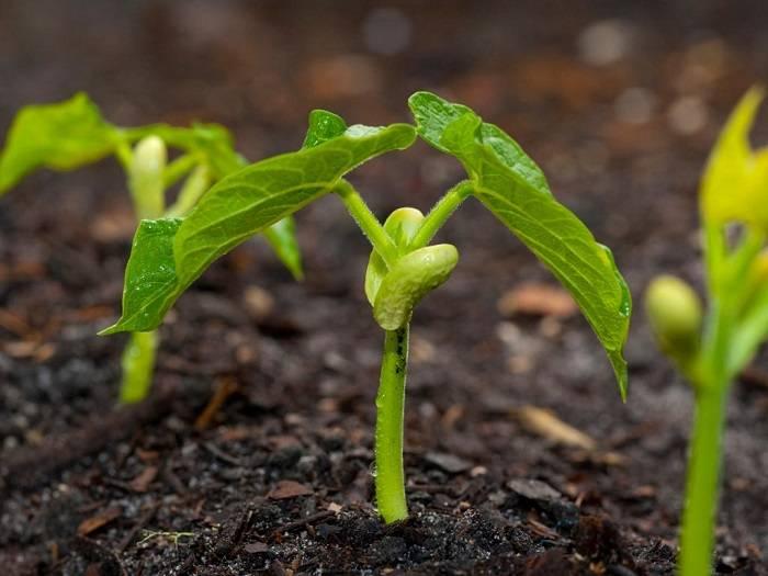 Как вырастить стручковую фасоль в открытом грунте на даче, на балконе