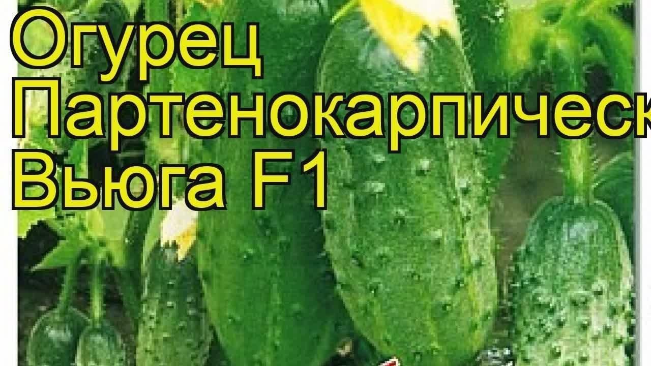 Огурец «вьюга f1»: характеристика и урожайность гибрида