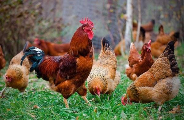 Глисты у кур: симптомы, признаки, лечение