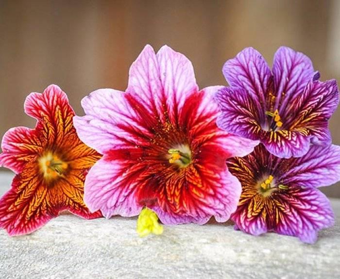 Все о выращивании сальпиглоссиса: когда сажать рассаду, уход в открытом грунте