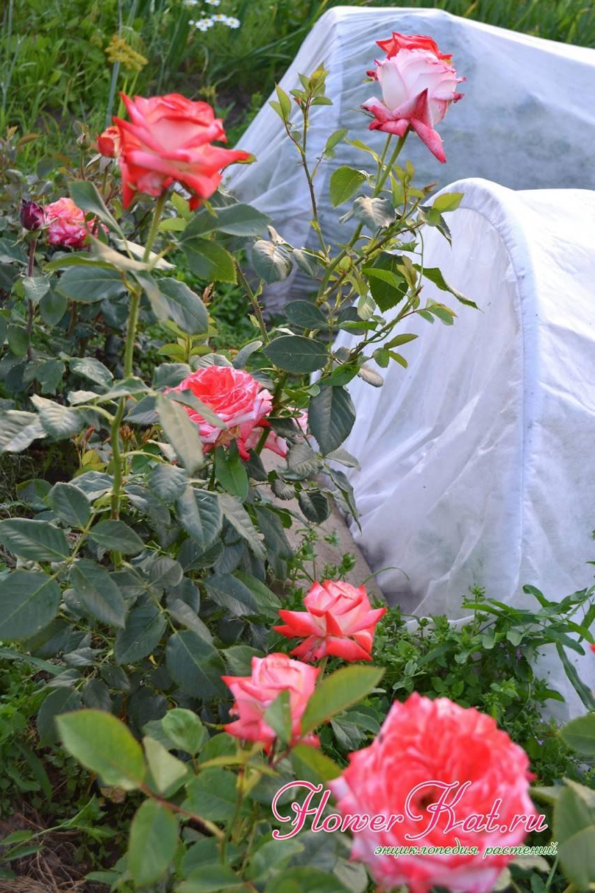 Роза императрица фарах: описание чайно-гибридного сортаэнциклопедия роз — сорта, описание и фото