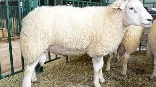 Порода овец тексель: разведение и особенности