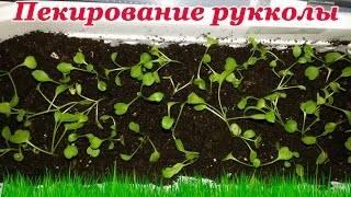 Руккола: выращивание из семян в открытом грунте, рассада в домашних условиях, фото