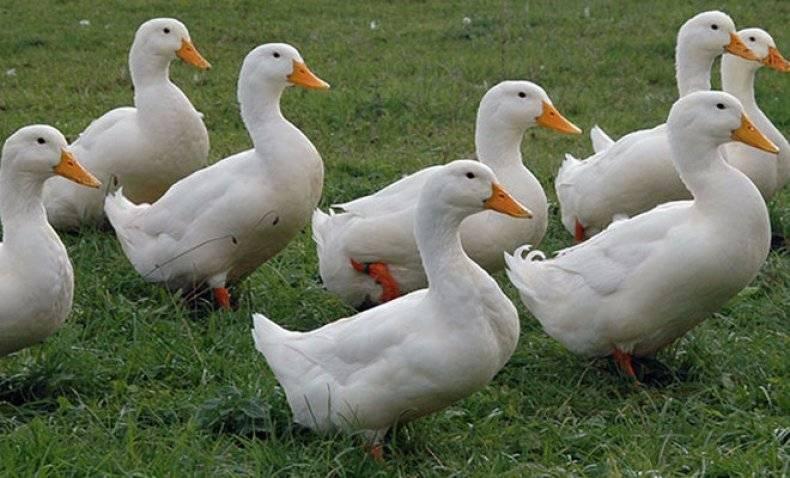 Интересные факты об утках