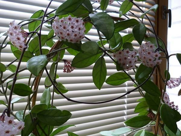 """Хойя белла (""""прекрасная""""): описание растения, уход в домашних условиях, фото"""