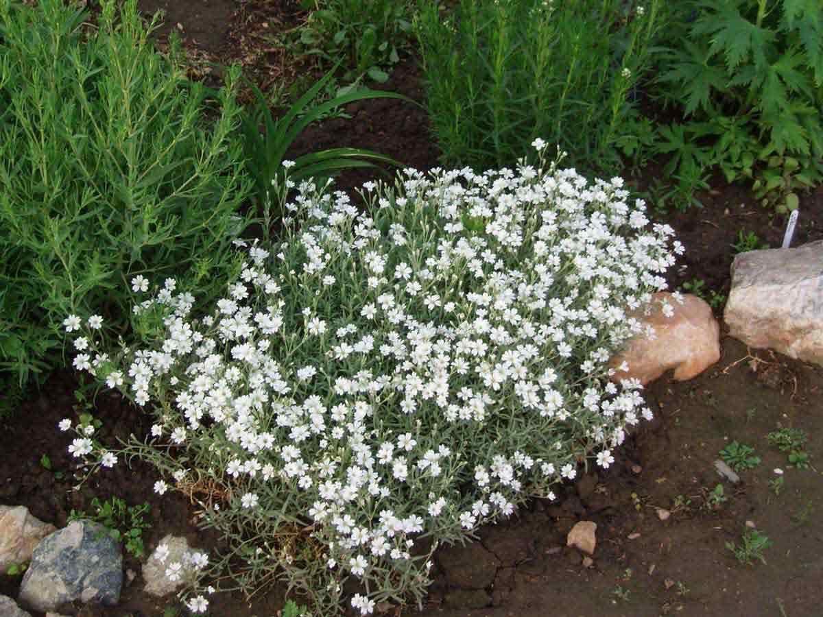 Ясколка (cerastium)