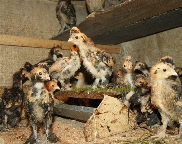 Павловские хохлатые куры в домашних условиях