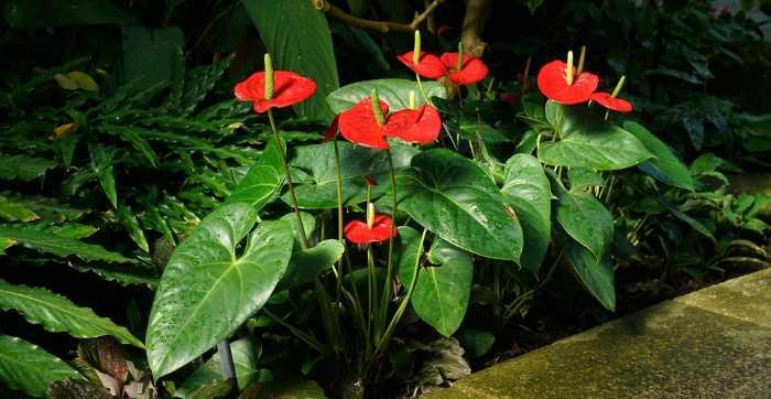 Размножение антуриума в домашних условиях: семенами, черенками, листом, делением куста, боковыми побегами