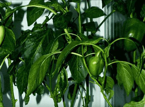 Как избавиться от тли на рассаде перца в теплице и открытом грунте