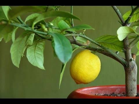 Цитрусовые растения в домашних условиях