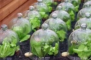 Пекинская капуста: выращивание и уход в открытом грунте на огороде, как вырастить в домашних условиях и в теплице
