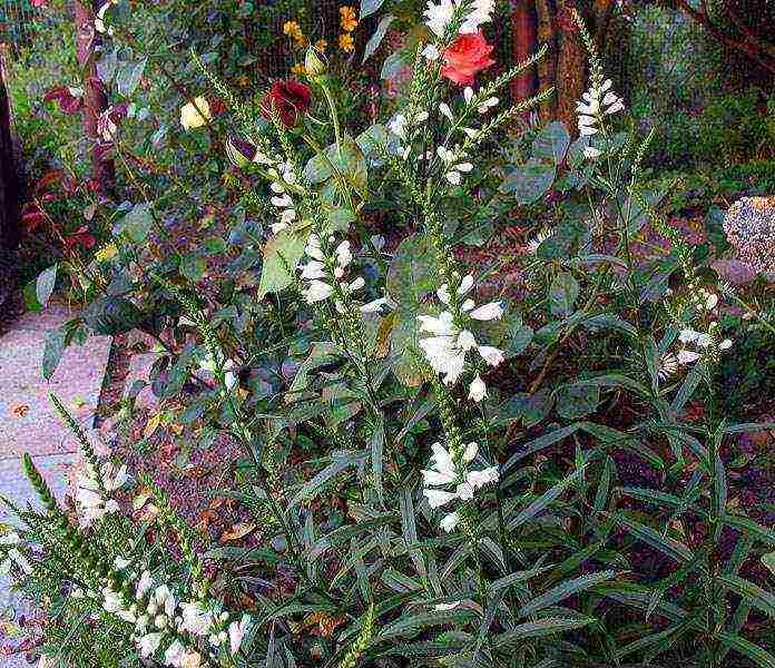 Необычная физостегия - посадка и уход, фото растения