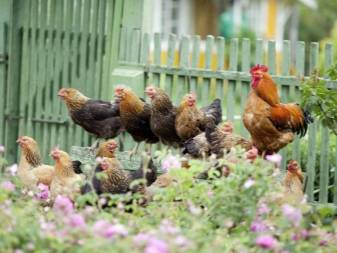 Ла флеш: редкая для нас порода кур