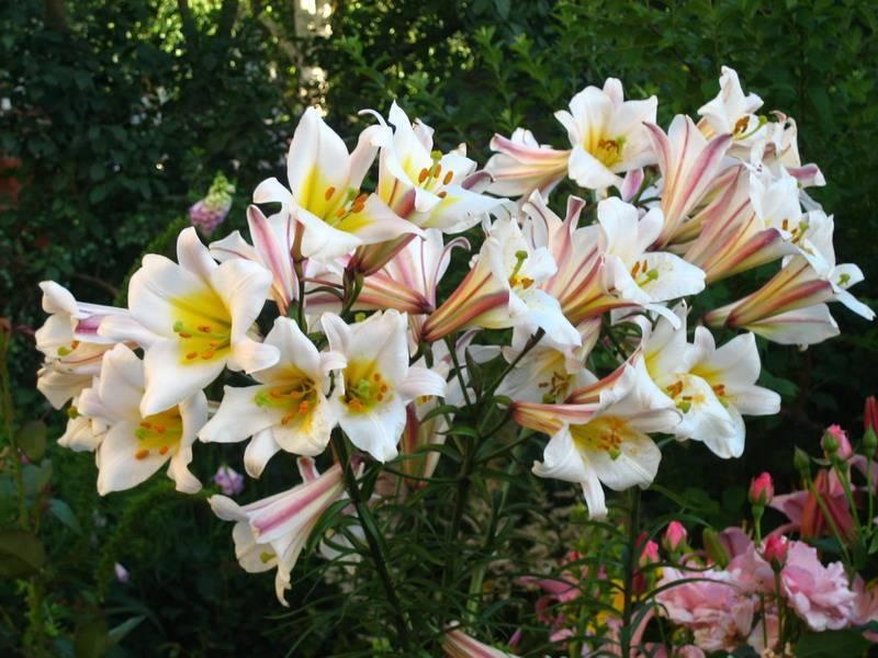Восточные лилии: сорта, отличие от азиатской, посадка и уход
