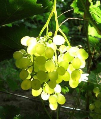 Виноград русбол: описание сорта, фото, отзывы — selok.info