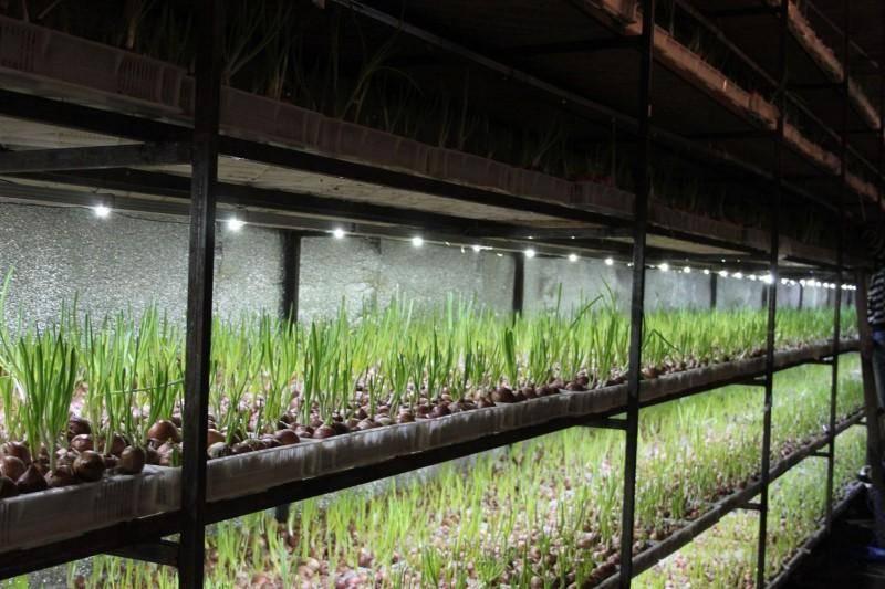 Выращивание зелени: основные правила ухода