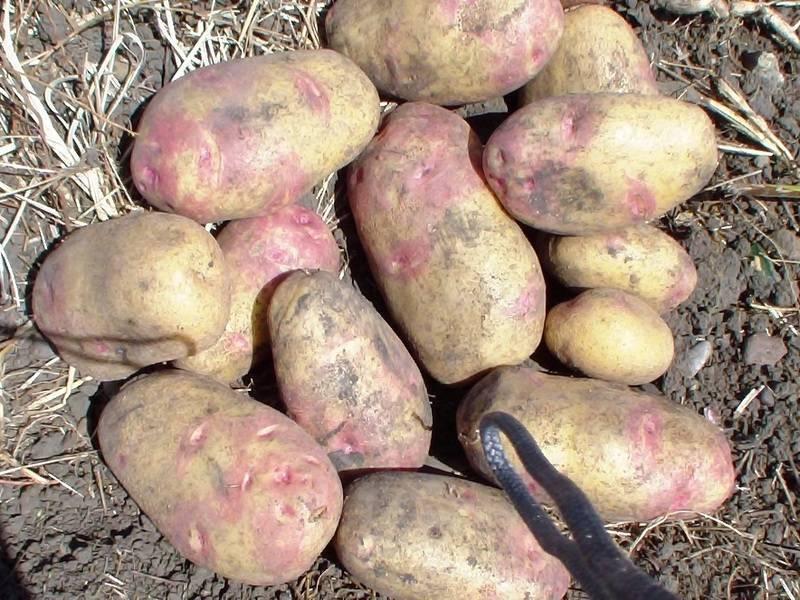 Картофель романо: описание и характеристики сорта, посадка и уход, отзывы с фото