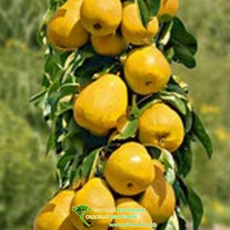 Груша декора колоновидная: описание и характеристика сорта, выращивание, посадка и уход
