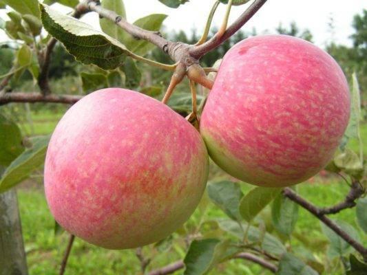 Яблоня уэлси: описание сорта, фото, отзывы