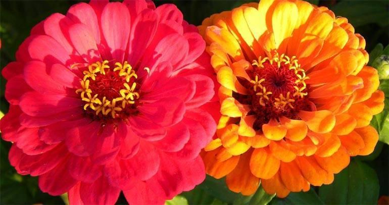 Циннии — посадка, уход, виды и сорта. выращивание. цветы. фото — ботаничка.ru
