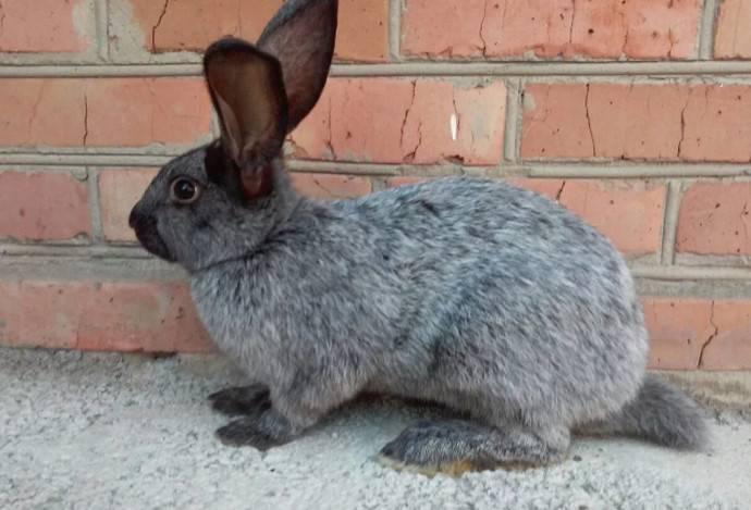 Полтавское серебро – все о кроликах с шубкой неповторимой красоты