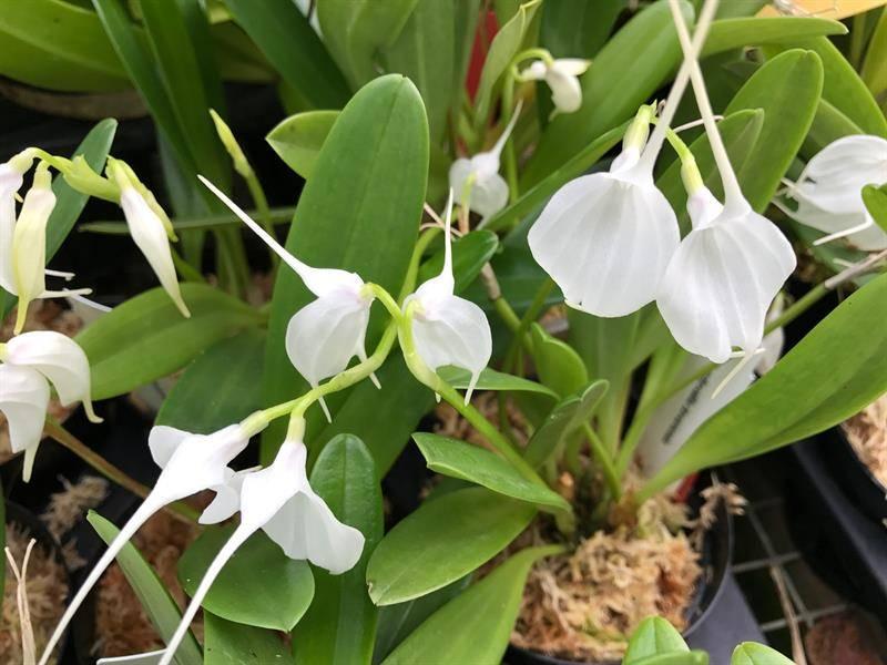 Орхидеи дракулы и масдевалии–сорта и уход за этими цветами | сайт о саде, даче и комнатных растениях.