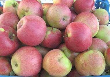 Лучшие сорта яблок: самые вкусные и урожайные