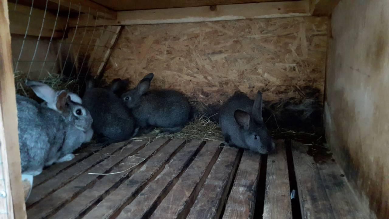 Когда отсаживать крольчат от крольчихи? чем кормить крольчат