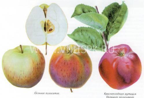 Штрифель - сорт яблок осеннее полосатое (штрейфлинг, полосатка) - описание