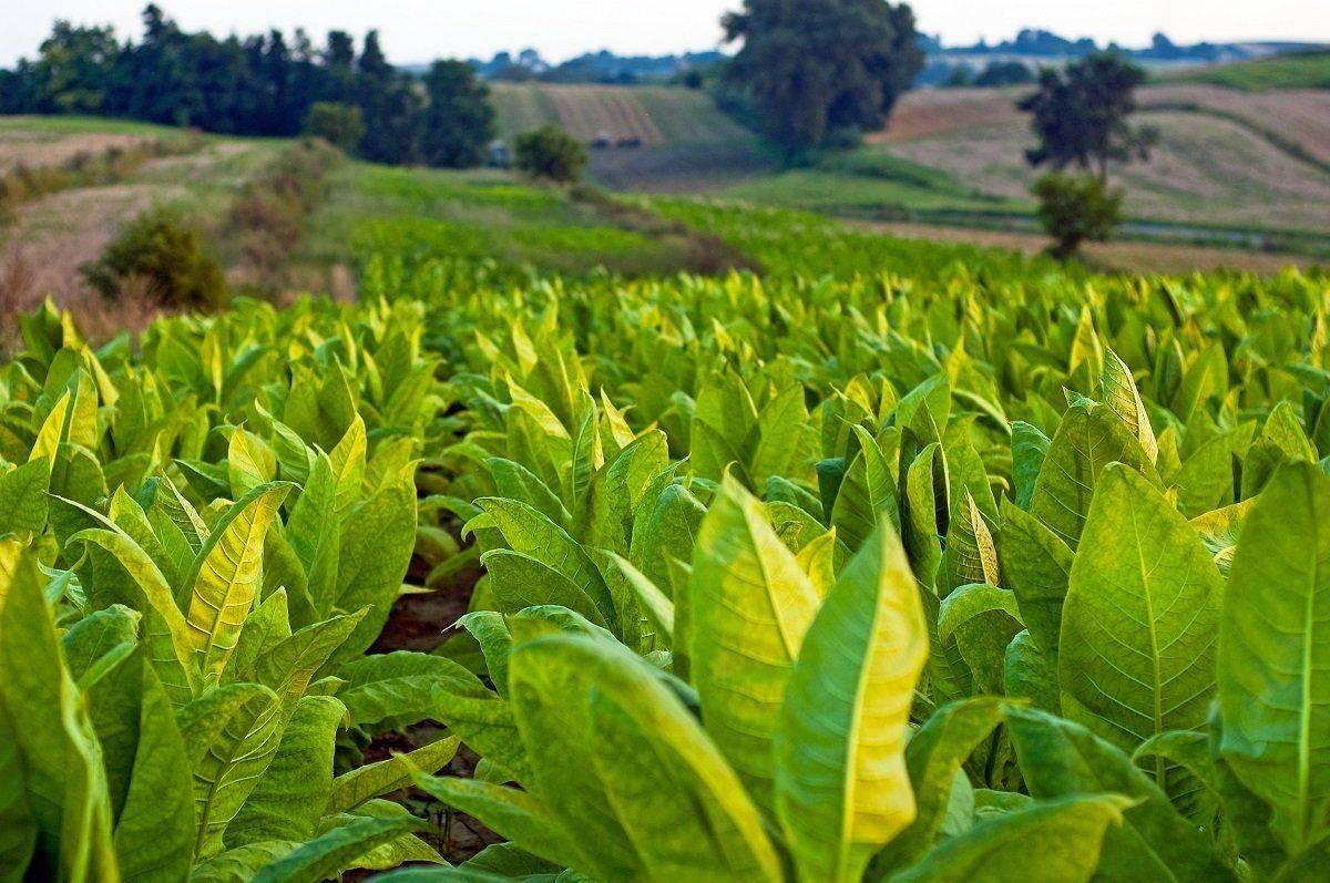 Чем обработать капусту от вредителей народными средствами: лучшие средства