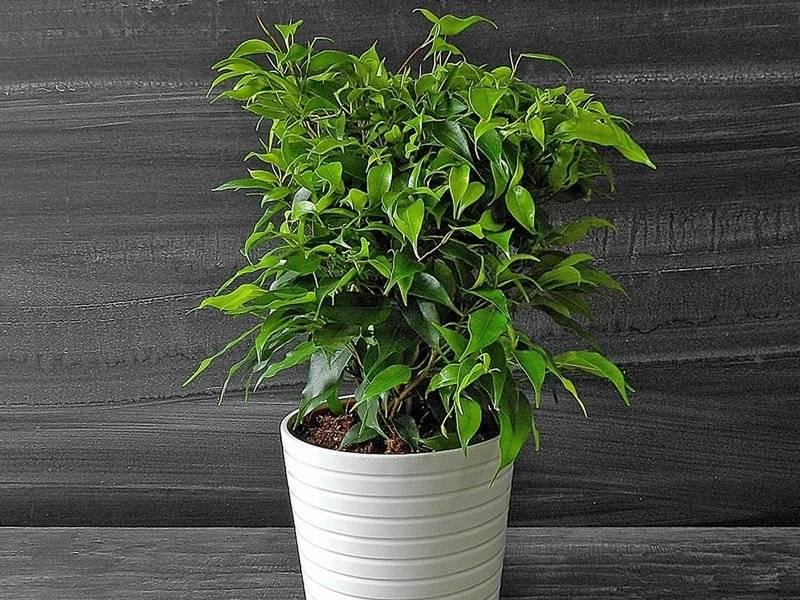 Выращивание фикуса кинки: как посадить, ухаживать, удобрять, размножать