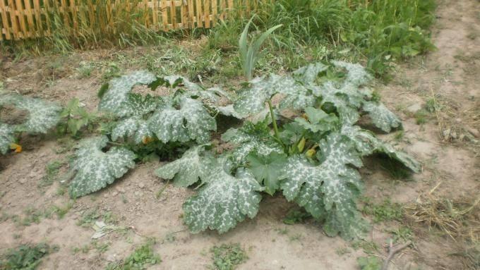 Надо ли обрывать листья у кабачков?