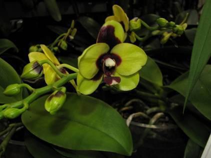 Болезни корней орхидей фаленопсис и их лечение с фото: почему они чернеют, стали плохие или их не видно после пересадки?