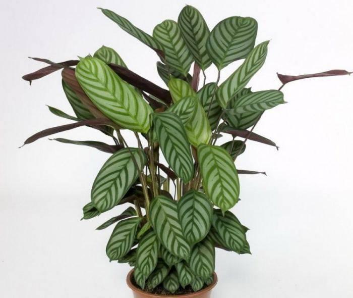 Ктенанта (ctenanthe). правила ухода и размножения. | floplants. о комнатных растениях