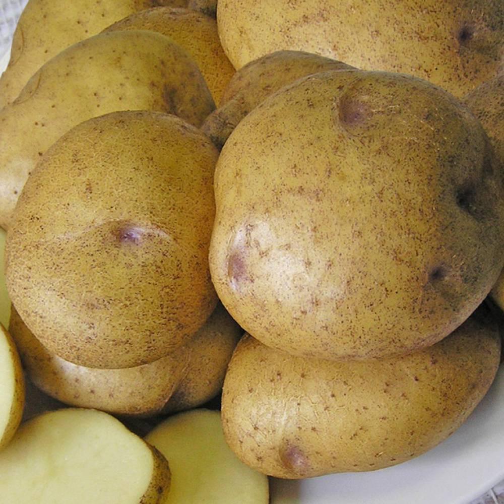 """Картофель """"синеглазка"""": описание сорта, фото и характеристики корнеплода картошки русский фермер"""