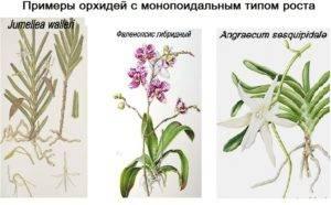 Орхидеи: классификация, характеристика и строение растений