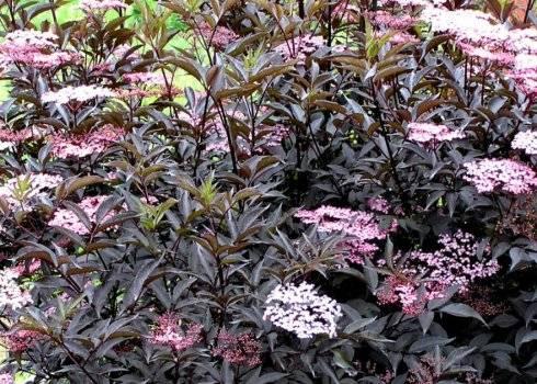 Описание сорта растения черная бузина блэк бьюти