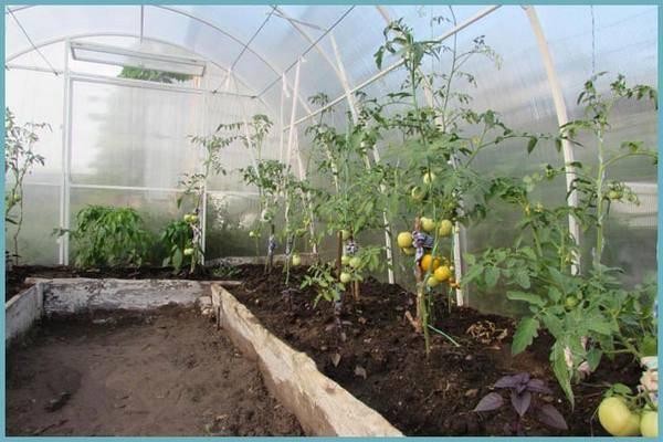 Нужно ли окучивать помидоры в теплице