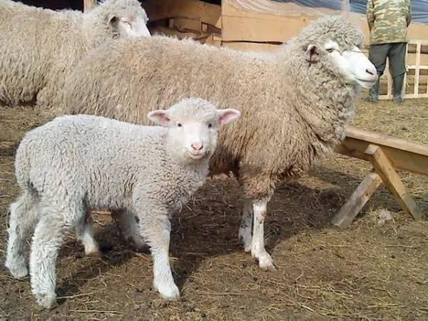Популярные разновидности овец мясных пород