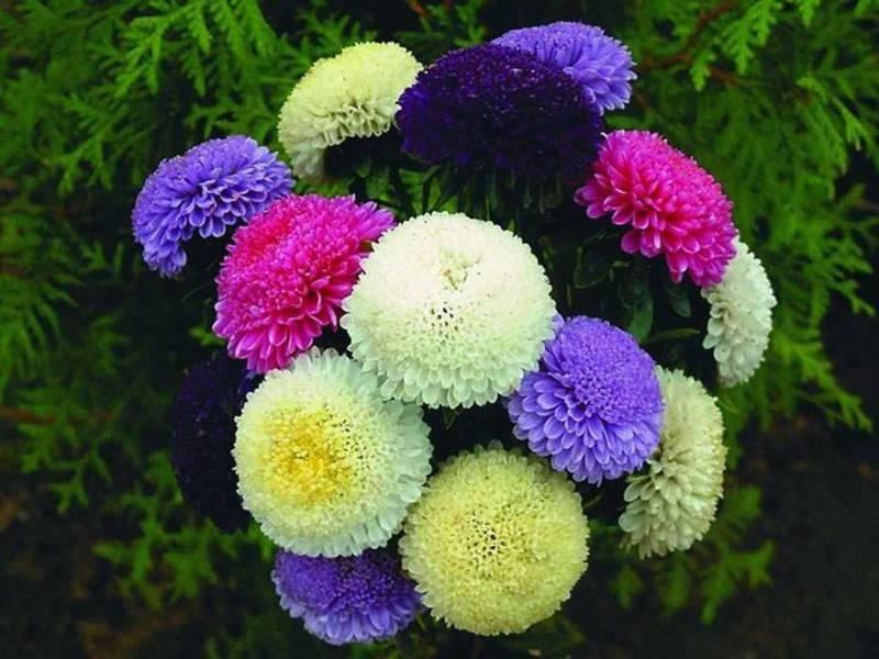 ᐉ цветок астра: посадка и уход в открытом грунте, фото, выращивание из семян, виды и сорта - roza-zanoza.ru