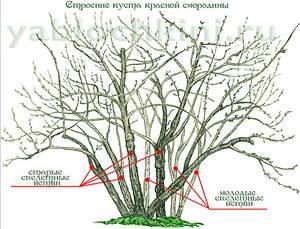 Обрезка черной смородины весной, в том числе для начинающих, а также основные правила проведения