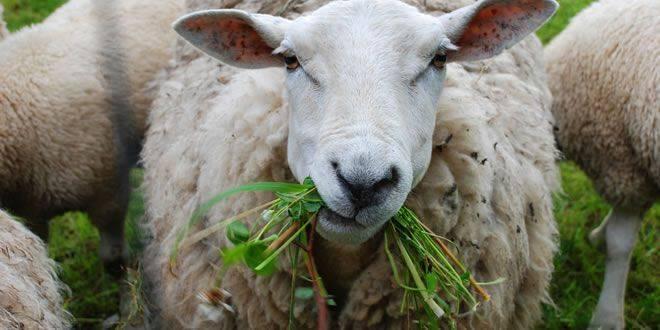 Чем кормить овец в домашних условиях: нормы и рацион