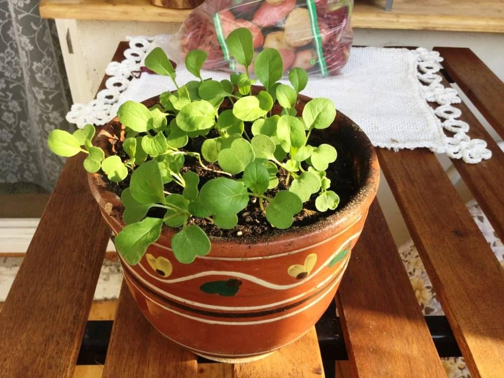 Руккола: посадка и уход в открытом грунте, выращивание на подоконнике