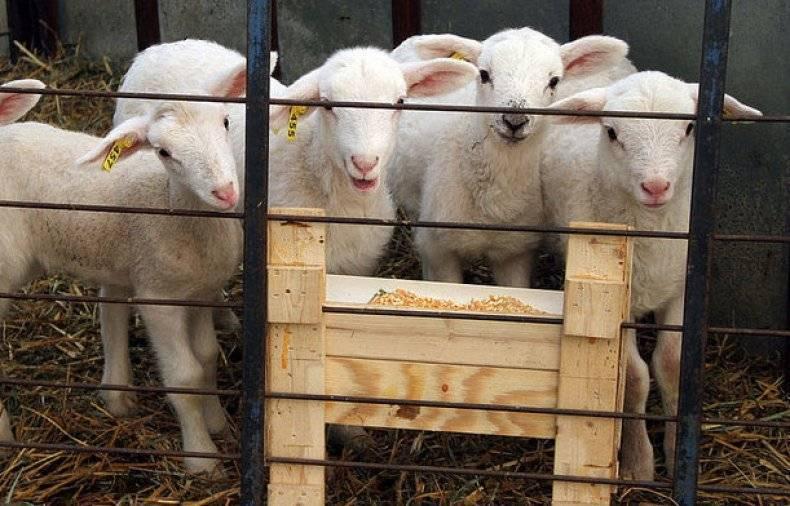 Кормление овец в домашних условиях, что они едят, нормы и правильный рацион