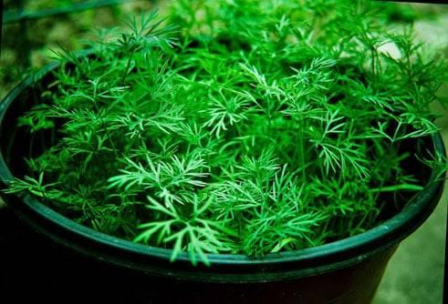 Укроп на подоконнике выращивание в домашних условиях